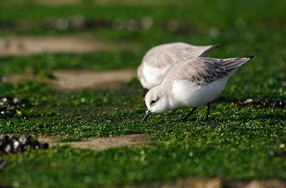 Becasseaux_sanderling